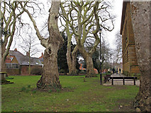 SP4540 : Trees in St Mary's Churchyard, Banbury by Roger Jones