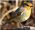NJ3458 : Robin (Erithacus rubecula) by Anne Burgess