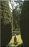 SX7962 : Yews at Dartington Hall,1983 by Derek Harper