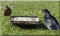 SO1107 : Male and female blackbirds, Rhymney by Robin Drayton