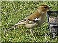 SO1107 : Female chaffinch, Rhymney by Robin Drayton