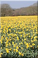 SW7630 : Daffodil field at Higher Tregarne by Rod Allday