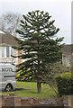 TR1256 : Monkey Puzzle Tree, Ashford Road, Canterbury by Julian P Guffogg