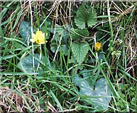 NU0052 : My first celandine of 2013 by Barbara Carr