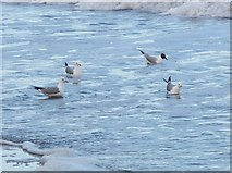 NU0052 : Common Gulls, Meadow Haven by Barbara Carr