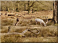 SJ7386 : Deer Grazing at Dunham Massey by David Dixon