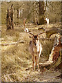 SJ7387 : Deer in Dunham Massey Deer Sanctuary by David Dixon