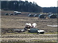 TF8742 : Pig farm in Holkham Park, Norfolk by Richard Humphrey