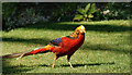 SV8914 : Golden Pheasant by Peter Trimming