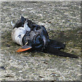 NZ8612 : Hundreds of dead puffins washed up along the East Coast by Pauline E