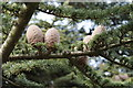 SE5007 : Pine Cones in the grounds of Brodsworth Hall by Dave Pickersgill