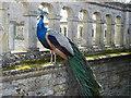 SP9292 : Posing peacock at Kirby Hall by Richard Humphrey