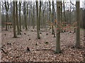 TL7891 : Beech trees in Thetford Forest by Hugh Venables