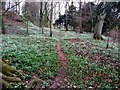 NY7410 : Woodland snowdrops, Soulby by Andrew Curtis