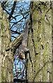 TL9927 : Grey Squirrel (Sciurus carolinensis) by Peter Pearson