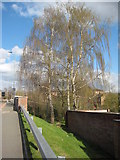 SO8554 : Silver birch trees in Worcester by Philip Halling