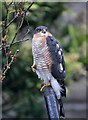 NT4936 : A sparrowhawk (Accipiter nisus) by Walter Baxter