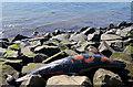 J4792 : Dead dolphin, Whitehead (1) by Albert Bridge