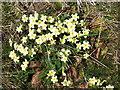 NT9541 : Primroses near Gatherick by Barbara Carr