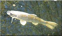 TQ1977 : Golden Fish by Anne Burgess