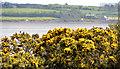 J4972 : Whin bushes, Newtownards (3) by Albert Bridge