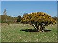 TQ0757 : Sculpted gorse bush by Alan Hunt