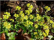 NS3878 : Opposite-leaved Golden-saxifrage by Lairich Rig