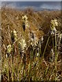 NS3681 : Hare's-tail Cottongrass by Lairich Rig