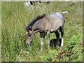 SX5485 : Dartmoor Pony Foal by Tony Atkin