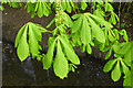 SK4833 : Horse chestnut leaves by David Lally