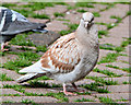 J3374 : Feral pigeons, Belfast (2013-1) by Albert Bridge