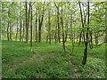 SP9513 : Fresh green of Spring in Aldbury Nowers by Rob Farrow