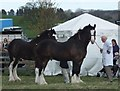 NT9334 : Shire horses awaiting judgment by Barbara Carr