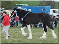 NT9334 : Shire horse with rosettes by Barbara Carr