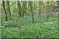 TG3606 : A carpet of bluebells, Buckenham Woods by Evelyn Simak