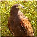 SD5705 : Harris's Hawk by David Dixon