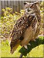 SD5705 : European Eagle Owl by David Dixon