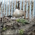 SJ9398 : Nesting Canada Goose by Gerald England
