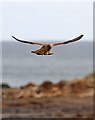 NT7375 : A hovering kestrel at Chapel Point by Walter Baxter