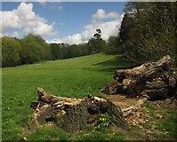 TQ3870 : Fallen tree, Beckenham Place Park by Derek Harper