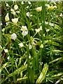 NS4074 : Few-flowered Garlic by Lairich Rig