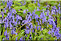 J3278 : Bluebells, Belfast Castle by Albert Bridge
