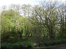 SX4975 : Woodland beside the A386 by JThomas
