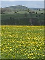 SK1555 : Field of dandelions above the Dove Valley by Andrew Hill
