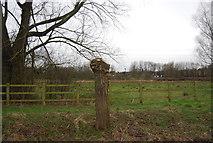 TL3706 : Tree stump, Silvermede by N Chadwick