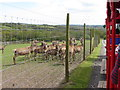 SN1108 : Red deer being fed from the Landtrain at Folly Farm by Gareth James