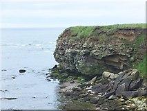 NU2231 : Kittiwake colony on Braidcarr Point by Barbara Carr
