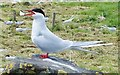 NU2135 : Arctic tern giving warning by Barbara Carr