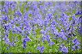 SO9245 : Bluebells in Tiddesley Wood by Philip Halling