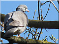 TA0340 : Wood pigeon by Stephen Craven